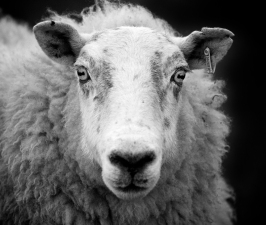 Photo of a ewe.